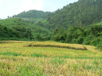 Direct seeding mulch-based cropping systems in Laos. © Cirad